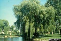 「White Willow」