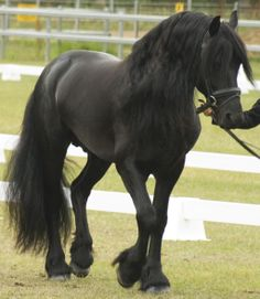 Friesian walk 2 by Araluen-Ekala on deviantART