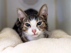 ***UNKNOWN 09/06/16 *** BEAUTIFUL BUFFY CAME TO THE ACC FROM A HOARDING CASE.....BUFFY is almost 2 years old and yet he is only 4.8 lbs!! BUFFY is a SUPER SWEET guy with an AVERAGE rating who likes petting and head-butts. Right now, his appetite is not so great so he needs to see a competent vet ASAP.....IF YOU CAN FOSTER OR ADOPT BODACIOUS BUFFY, PLEASE APPLY NOW....He only has until NOON tomorrow!! If you need help, email us at HELPCATS@URGENTPODR.ORG