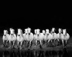 Horses Running in Water, Black and White Photography, Modern Minimal Horse Photograph, Animals, For Men Him - The Wild Ones