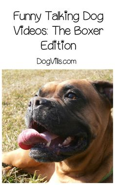 Need a laugh? Check out our favorite funny dog videos featuring talking boxers!