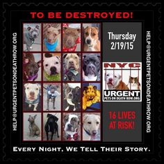 TO BE DESTROYED:16 beautiful dogs to be euthanized by NYC ACC- THUR 02/19/15. This is a VERY HIGH KILL shelter group. YOU may be the only hope for these pups! ****PLEASE SHARE EVERYWHERE!To rescue a Death Row Dog, Please read this: http://urgentpetsondeathrow.org/must-read/ To view the full album, please click here: https://www.facebook.com/media/set/?set=a.611290788883804.1073741851.152876678058553&type=3