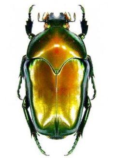 Ischiopsopha itsemae celebensis by lauren