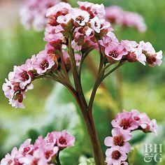 Bergenia - tremendously useful groundcover plant in shady spots. Thick, dark green, heart-shape leaves and spikes of bright pink spring flowers Yellow Flowers, Spring Flowers, Spring Blooms, Deer Resistant Shade Plants, Cranesbill Geranium, Perennial Geranium, Perennial Gardens, Japanese Painted Fern, Gardens