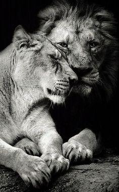 ✿⊱ Lions **