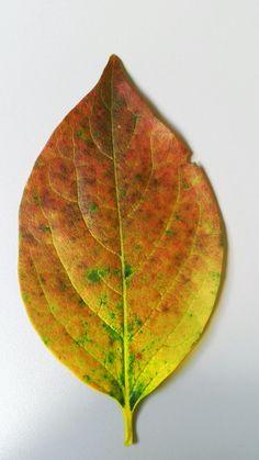 Fotoğrafına rastladığım ve üzerinde şahane renk geçişleri olan yaprak.