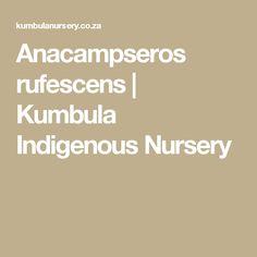Anacampseros rufescens | Kumbula Indigenous Nursery
