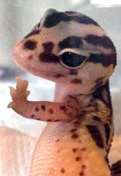 Leopard Gecko That's kinds looked of gecko gurl gurl from last 2018 years ago in 21 century. Leopard Gecko Cute, Cute Gecko, Lepord Gecko, Leopard Gecko Morphs, Cute Little Animals, Cute Funny Animals, Cute Dogs, Cute Lizard, Cute Reptiles