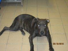 4 / 11   ***PUPPY ALERT*** Petango.com – Meet CARMEN, a 10 months 22 days Terrier, American Pit Bull / Mix available for adoption in FORT PIERCE, FL Address  100 Savannah Road, FORT PIERCE, FL, 34982  Phone  (772) 461-0687  Website  http://www.hsslc.org  Email  info@hsslc.org