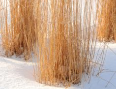 Believe it or not, wintertime is a perfect time for ornamental grass care. Here is low down on winter maintenance for ornamental grasses. You are in the right place about small Garden design Here we offer you the most beautiful p… landscaping plants Tall Ornamental Grasses, Hosta Care, Asparagus Plant, Hosta Plants, Carnivorous Plants, Cactus Plants, Garden Plants, Leaf Structure, Vegetable Garden Planning