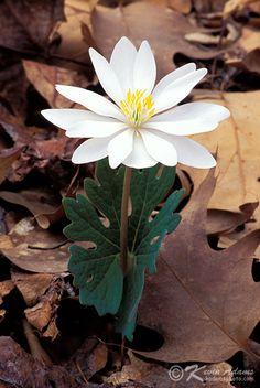 Bloodroot-Sanguinaria Canadensis-Wildflower. Used by indigenous people as an insect repellant.