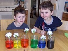 Junior Flowers Badge - dyed carnations. Done - tips from a florist: when you get your carnations, DON'T put them in water immediately. Let them dry out a bit in the fridge (up to a day), and then they will soak up water like crazy when you put them in the colored water! :) It worked great, and we had noticeable color in just a couple of hours.