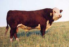 FELTONS MATTHEW 597 X23653596 Sire: F 208 Prospector 376 Dam: Feltons B36