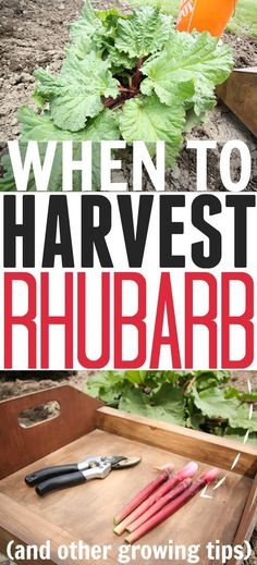 Tips for growing rhubarb including when to know the right time to harvest it!