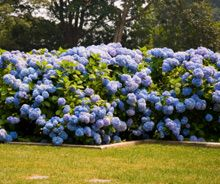 Hydrangea Shrubs Care | Hydrangea Shrubs Planting Directions | Brighter Blooms Planting Directions