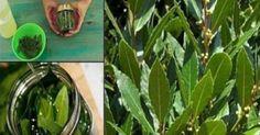 Υγεία - Όλοι γνωρίζουμε ότι η δάφνη είναι ένα πολύ καλό βότανο που έχει μια ξεχωριστή θέση σε κάθε κουζίνα. Αλλά δεν ξέραμε ότι αυτά τα φύλλα είναι επίσης χρήσιμα