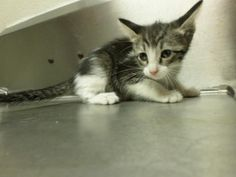 URGENT!!! Meet 14-0011124 a Petfinder adoptable Domestic Short Hair Cat | Odessa, TX | Date available for adoption : Now $35Animal Control accepts cash or check ONLY