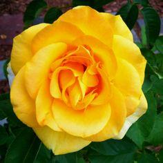 Yellow hybrid tea rose