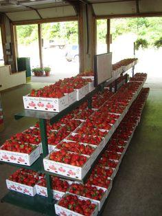 #GA #Farm: Fresh picked #strawberries at #Osage #Farms in Rabun Gap, Georgia.