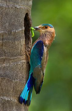 Beautiful Birds In the World, Indian Roller Photos) Kinds Of Birds, All Birds, Love Birds, Pretty Birds, Beautiful Birds, Animals Beautiful, Beautiful Pictures, Exotic Birds, Colorful Birds