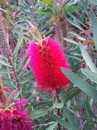 I loved the Bottlebrush trees in southern CA. Strange Flowers, Rare Flowers, Exotic Flowers, Beautiful Flowers, Wild Flowers, Australian Wildflowers, Australian Native Flowers, Australian Plants, Australian Bush