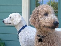 standard poodle, teddy bear clip -