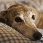 Totgeschlagen und weggeworfen: Oft das Ende der Greyhounds in Irland | Irland live