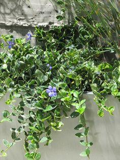 Vinca minor pot / aptenia cordifolia