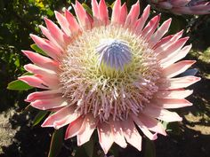 Protea cynaroides (Otherwise known as the King Proteea) King Protea, Cape, Plants, Mantle, Cabo, Plant, Coats, Planets