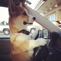 Maynard Corgison heading to the store to pick up Chex when we run out.