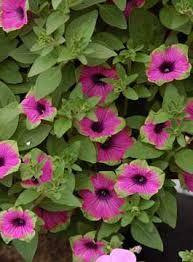 petunias flowers - Google Search