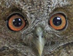 Eyes from the Puerto Rico screech owl
