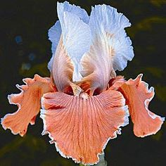 English Charm Reblooming German Iris- what beautiful colors!