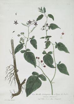 La Morelle Grimpante, ou Vigne de Judée. From New York Public Library Digital Collections.