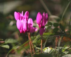 Cyclamen purpurescens - hardy bulb, dry shade, strongly scented flowers, 4 inches, july-sept