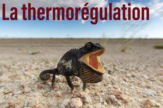 Pourquoi nous ne sommes pas des lézards ? Découvrez le dans un article détaillant le principe de la thermorégulation.