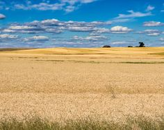 Amber Fields of Grain. Fine Art Rural Photography Print for Home Decor Wall Art. Rolling fields of wheat with a farmstead in the background. ~~ SELECT DESIRED SIZE USING THE OPTIONS BUTTON ABOVE ADD TO CART. Available in: 8x10, 11x14, 12x18, 16x24, 20x30, 24x36 prints.