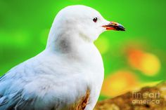 Solitude 1 Photograph by Naomi Burgess #seagull #animals #photography