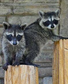 Rare Animals, Cute Baby Animals, Animals And Pets, Strange Animals, Small Animals, Cute Creatures, Beautiful Creatures, Animals Beautiful, Cute Animal Videos