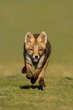 Little red fox running by Menno Schaefer, via Animals And Pets, Baby Animals, Funny Animals, Cute Animals, Beautiful Creatures, Animals Beautiful, Fuchs Baby, Fox Running, Wolf Hybrid