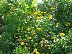 Mexican Sunflower, Bolivian Sunflower, Giant Mexican Sunflower, Tree ...