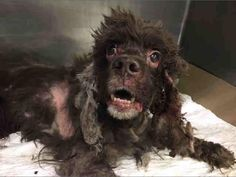 11/24/16 This is a tough case! We received a plea to save a fifteen-year-old neglected baby named Kelly. Kelly has been dumped in the Manhattan Shelter after his owner died. This is heartbreaking. While we do not know the circumstances, this dog has been very badly neglected. He was suffering in the crowded