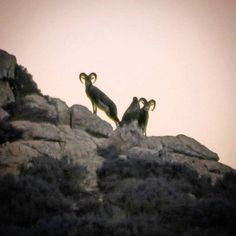 by http://ift.tt/1OJSkeg - Sardegna turismo by italylandscape.com #traveloffers #holiday | Accordi silenziosi tra prede e predatori // Incontro tra due grossi Mufloni e Aquila reale in Supramonte #alba #sunset #mountains #explore #sardinia #sardegna #nature #ig_sardinia #sardegnageographic #supramonte #igersogliastra #instasardegna #focusardegna #igersogliastra_barbagia #instagramsardegna #lanuovasardegna #love_sardinia #loves_sardegna #sardinia #beautifulsardinia #sardiniaexperience…