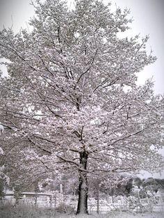 Snow covers a tree near Ben Lomond in northern NSW, October 12, 2012.    Photo via: https://twitter.com/jimboharr