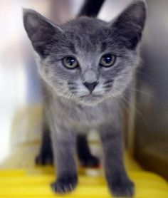SAFE! URGENT! OUT OF TIME!! Iris: Time's up for adorable 2-month-old beauty at high-kill upstate shelter ** Out of time NAME: Iris ANIMAL ID: 23476621 BREED: DSH SEX: Female EST. AGE: 2 mos Est Weight: 2.5 lbs Health: Temperament: friendly ADDITIONAL INFO: RESCUE PULL FEE: $49