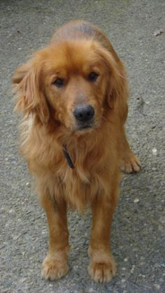 This is Scruffy an adult male Golden Retriever. He is neutered, current on…