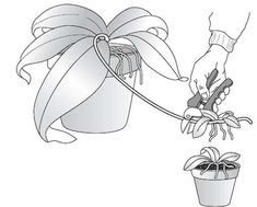 Two, Four, Six, Eight, Let Your Orchids Propagate: Multiplying Your Orchids