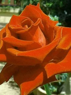 Rosa roja - My site Beautiful Rose Flowers, Amazing Flowers, Beautiful Gardens, Ronsard Rose, Rose Images, Rainbow Roses, Special Flowers, Hybrid Tea Roses, Lavender Roses