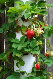 Strawberries in a PVC pipe.  Love new ways to container garden!  Especially srrawberries