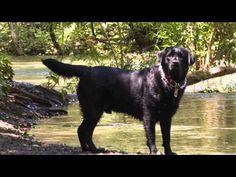 Colors & & Types of Labrador Retrievers: Dog Care Tips - http://petcarecheap.com/colors-types-of-labrador-retrievers-dog-care-tips-2/